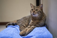 A9__DSC3168_C1 (Bazoka+Cynthia) Tags: delta cat 小婆 新北市 樹林區 貓