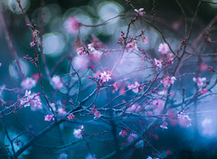 Winter cherry blossom (Tomo M) Tags: nature flower cherry branch winter bokeh blur light pentacon 新宿御苑 ジュウガツザクラ
