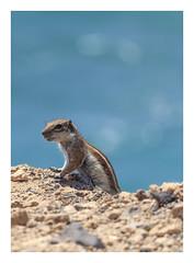The little One. (Anscheinend) Tags: fuerteventura island ocean sea animal animals tier tiere squirrel bokeh focus rocks background nature wild