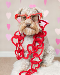 Quincy (Cheryl3001) Tags: valentine schnauzer dog canon 5d mark iii 50mm f14