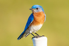 Bluebird on Point (DonMiller_ToGo) Tags: wildlife celeryfields nature onawalk birds outdoors birdwatching d810 bluebird florida