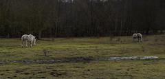 Poney highland (JLM62380) Tags: coal charbon poney highland hautsdefrance france arbre tree mine haillicourt paysage chevaux horses herbe pâture