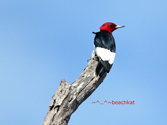 Red Headed Woodpecker (beachkat1) Tags: red headed woodpecker redheadedwoodpecker bird birds