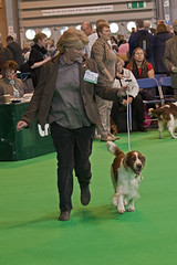 Diary_2016_032 (evinrisca) Tags: crufts welsh springer spaniel dogshow wsscsw