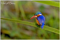 The Beautiful Kingfisher! (MAC's Wild Pixels) Tags: thebeautifulkingfisher malachitekingfisher corythorniscristatus kingfisher bird birder birdlife birdwatcher birdperfect birdlifephotography beautifulbird colourfulbird avian plumage feathers ornithology animal wildlife africanwildlife wildafrica wildanimal wildbird wildlifephotography safari gamedrive nnp nairobinationalpark nairobi kenya macswildpixels coth alittlebeauty specanimal avianexcellence coth5 natureinfocusgroup ngc npc