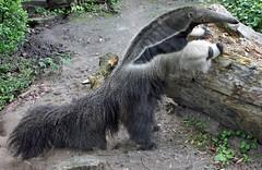 Ants beware (Schwanzus_Longus) Tags: magdeburg zoo german germany animal mammal giant anteater south america american