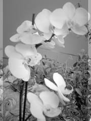 harada-flowers-74 (annie harada) Tags: flowers hana blumen fleurs bouquet noir et blanc black white