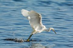 The master (ChicagoBob46) Tags: snowyegret egret bird dipfishing florida jndingdarlingnwr sanibel sanibelisland nature wildlife coth5 ngc naturethroughthelens npc