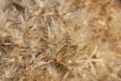 Rabbitbrush Detail (BeerAndLoathing) Tags: 2018 october denver closeup plants 77d rabbitbrush colorado outdoors clearcreek canon fall arvada usa canoneos77d macro