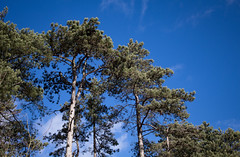 Pining for summer (music_man800) Tags: scots pine tree trees woods tall march spring 2019 sunny sun blue sky green pines holkham beach norfolk uk united kingdom walk hike nature natural outdoors light lighting very windy gale clouds contrast trunk contrail white wispy cloud canon 700d adobe lightroom creative edit photography landscape scene looking up skly colours colourful shadows