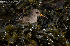 Purple Sandpiper (Calidris maritima) (gcampbellphoto) Tags: purple sandpiper calidris maritima wader shorebird bird nature wildlife north antrim northern ireland gcampbellphoto outdoor animal rock seaweed atlantic
