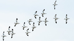 Avocet flight (pstani) Tags: countrypark england essex europe greatbritain hollandhaven hollandonsea recurvirostraavosetta recurvirostridae avocet bird fauna wader