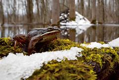 Wood Frog (Lithobates sylvaticus) (Alex Roukis) Tags: onondagacounty nature ny newyork newyorkwildlife nikonwildlife fieldherping herping herpetology frog wildlife woodfrog amphibian alexroukis esfherpclub sunyesf wild wildlifephotography centralnewyork