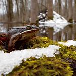 Wood Frog (Lithobates sylvaticus) thumbnail