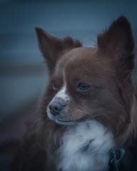 Hugo test edit crop12 (1 of 1)-2 (Chollingsether) Tags: dog helios fujifilmxt2 desaturated darkmoody ålesund dogs