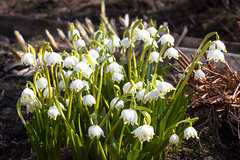 snowdrops (thisoneiscrazy) Tags: snowdrops snowdrop spring flowers