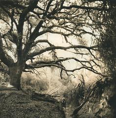 Widowmaker (micalngelo) Tags: analog filmphoto sepiatoned fomapan100film hasselblad tree oaktree ilfordwarmtonepaper mediumformatphotography