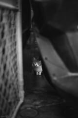 猫 (fumi*23) Tags: ilce7rm3 sony street a7r3 animal alley katze voigtlander cat chat cosina neko nokton 58mm voigtländernokton58mmf14slⅱ blackandwhite bw monochrome コシナ フォクトレンダー ソニー ねこ 猫