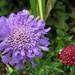 Scabiosa flowers