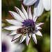"""L' Abeille : """"Nous voyons l'abeille se poser sur toutes les plantes et tirer de chacune le meilleur.""""  Isocrate"""