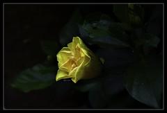 """When nothing is sure, everything is possible."" (Ramalakshmi Rajan) Tags: nikon nikond750 nikkor24120mm flowers flower hibiscus yellow inmygarden nature"