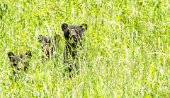 The three bear cubs (TDog54Photography / TCS Photography) Tags: black bear bears smoky mountains tennessee cades cove wildlife wild life animal american north america ursus americanus animals forest national park great cubs cub