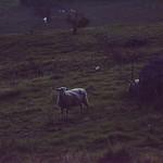 21963-sheep in the dark thumbnail
