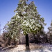 Snowy Pine Tree in Mount Laguna