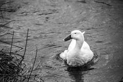 Duck (Beangrau12) Tags: dogwood2019 week3 inspirationblackandwhite duck water swimming reeds nikon3200 tamron16300
