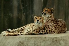 Cheetah Pair 2 (Emily K P) Tags: milwaukeecountyzoo zoo animal wildlife bigcat cat feline cheetah two pair snowing snow spots yellow neutral rock friends