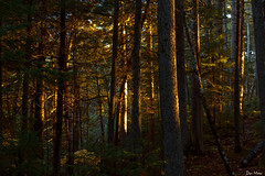 Forest dawn (II) (DJM Photos) Tags: acadia maine newengland fall autumn foliage leaves leaf colors color colorful tree trees woods forest light gold golden yellow dawn morning sunrise landscape outdoors outside
