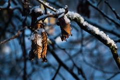 Snow on leafs, criss crossing branches makes up the backdrop (Tor Langli) Tags: sunshine shadow sverige landscape winter nature landskap scandinavia löv natur snow sun karlstad wintersun tree leafs sweden