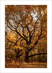 Autumn Oaks (Steve-T201) Tags: oaktree sherwoodforest nottinghamshire autumn colours trees