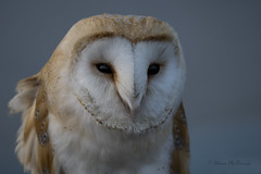 Barn Owl (shaunmcdonagh) Tags: birds bird barn owl owls barnowl wildlife