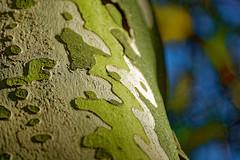 La géographie du platane - The geography of plane tree (p.franche busy - occupé) Tags: vert nature plante arbre bokeh macro automne beige jaune couleur sec écorce tronc platane green plant tree autumn yellow color dry bark trunk planetree bleu blue sony sonyalpha65 dxo photolab bruxelles brussel brussels belgium belgique belgïe europe pfranche pascalfranche schaerbeek schaarbeek yourbestoftoday parcjosaphat josaphatpark