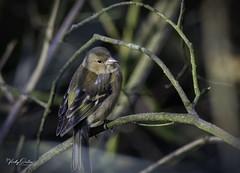 Chaffinch (vickyouten) Tags: chaffinch bird nature wildlife britishwildlife wildlifephotography nikon nikond7200 nikonphotography sigma150600mm penningtonflash leigh vickyouten