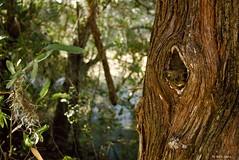 Oak Tree Knot Hole (surfcaster9) Tags: knot hole oak tree marsh florida lumixg7