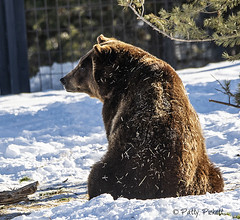 Grizzly & Wolf Discovery Center West Yellowstone (Pattys-photos) Tags: grizzlyandwolfdiscoverycenter westyellowstone montana pattypickett4748gmailcom pattypickett