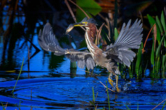 Green heron taking off from the water after catching a fish at Babcock Wildlife Management Area near Punta Gorda, Florida (diana_robinson) Tags: greenheron butoridesvirescens catchingafish fish fishing bird takingflight birdinflight birdwithfish babcockwildlifemanagementare fredcbabcockcecilmwebbw puntagorda florida babcockwildlifemanagementarea fredcbabcockcecilmwebbwildlifemanagementarea