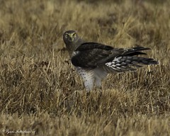 2I1A9871a (lfalterbauer) Tags: grayghost northernharrier nature wildlife photographer outdoor field birdsofprey canon ornithology avian 7dmarkii newjersey
