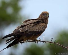 Black Kite (J) (leendert3) Tags: leonmolenaar southafrica krugernationalpark wildlife nature birds tawnyeagle ngc npc coth5