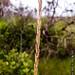 2012-08-09 TEC-009 Schizachyrium sanguineum - E.P. Mallory
