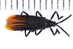 Sceloenopla2019-1-29campFLYING_9227c (mcclarinj) Tags: sceloenopla assidinae chrysomelidae cosanga napo ecuador jimmcclarin