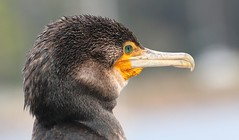 Great Cormorant 261018 (4) (F) (Richard Collier - Wildlife and Travel Photography) Tags: australia australianbirds wildlife naturalhistory greatcormorant birds naturethroughthelens