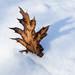 Oak leaf in snow - Feuille de chêne dans la neige
