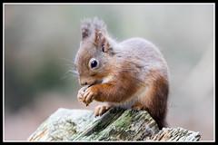IMG_0123 Red Squirrel (Scotchjohnnie) Tags: redsquirrel sciurusvulgaris squirrel squirrelphotography mammal rodent wildanimal wildlife wildlifephotography wildandfree nature naturephotography canon canoneos canon7dmkii canonef100400f4556lisiiusm scotchjohnnie