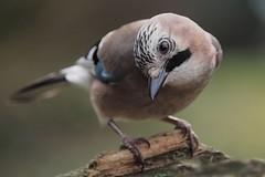 jay  (garrulus glandarius) (alfred.reinartz) Tags: jay eichelhäher garrulusglandarius vogel singvogel olympus omd em1