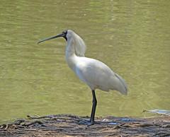 Royal Spoonbill (tedell) Tags: royal spoonbill lake belvedere sydney bicentennial park auburn new south wales australia december 2019 bird