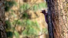 Écureuil (Alexandre LAVIGNE) Tags: homblières picardiehautsdefrance pentaxk1 pentax ecureuil squirrel bois arbres contrejour ombre nature pentax15004500mmf4556 wildlife