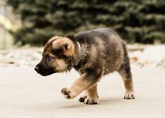2019-03-02, Mel x Dezi Teal Male-1 (Falon167) Tags: gsd germanshepherddog german shepherd dog puppy mel dezi melxdezi litter bessie puppies